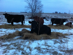 The cows laying in extra straw that we rolled out for them